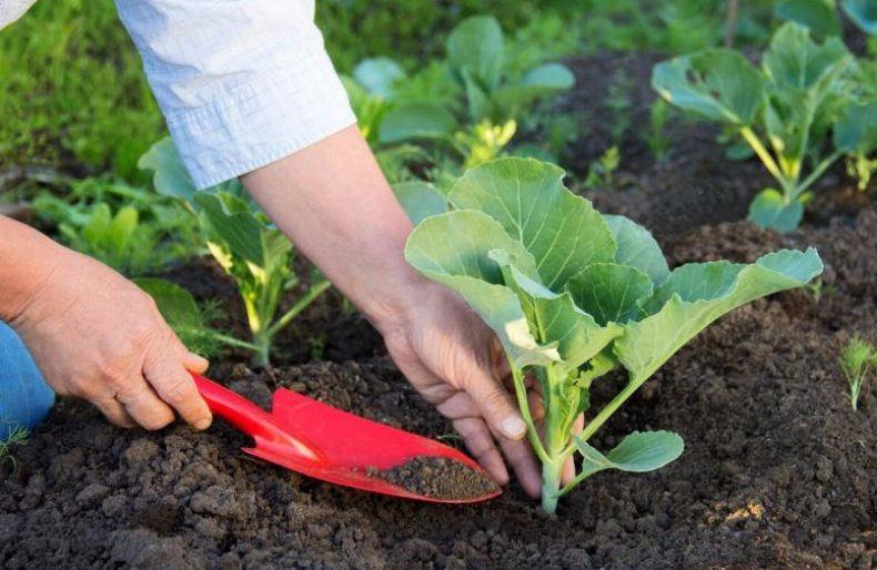 Нитрофоска для капусты