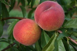 Персики сорта «Редхейвен» очень сладкие