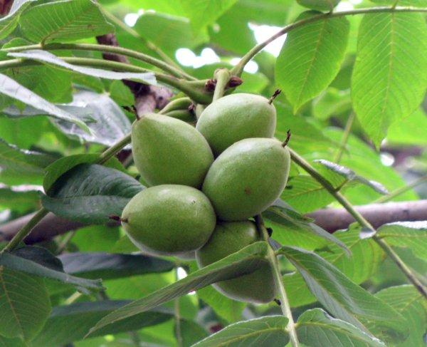 Маньчжурский орех. Лечебные свойства