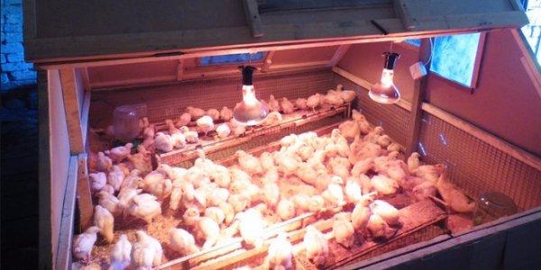 Сделать брудер для цыплят своими руками фото 153