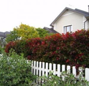 Живая изгородь возле дома