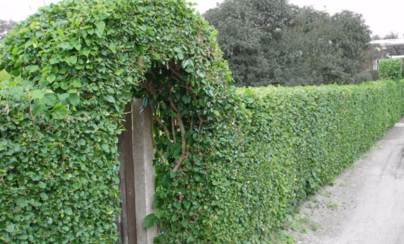 Стена из боярышника