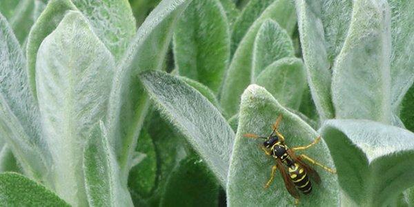 Чистец или стахис шерстистый: посадка и уход в саду