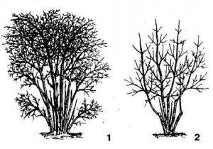 Жимолость съедобная выращивание и уход