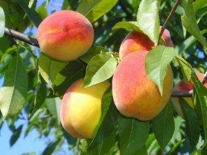 Персики сорта «Джаминат» очень большие