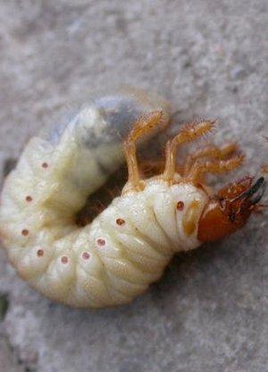 Отличие личинок медведки и майского жука