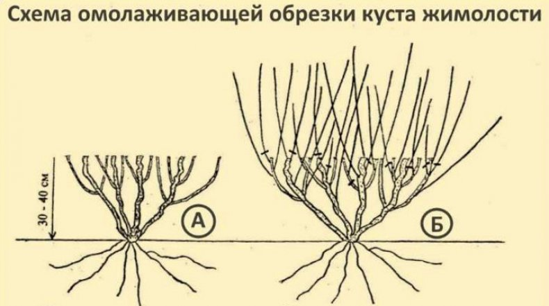 Обрезка жимолости