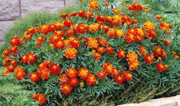 Цветы однолетние с описанием сортов и 26
