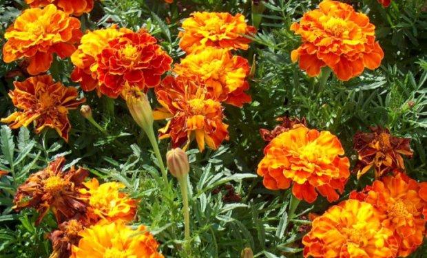 Цветы однолетние с описанием сортов и 21