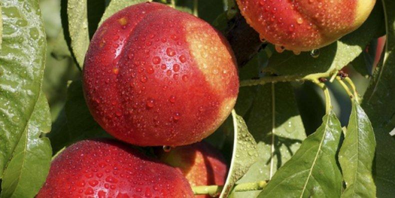 нектарин, сорт, выращивание, «Старк голд», «Старк Сангло», «Кримсон голд»