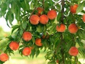 сорт«Джаминат» очень плодородный