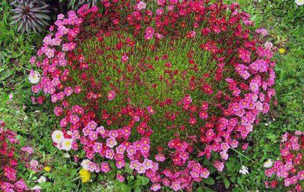 Почвопокровные многолетние растения каталог названий цветов