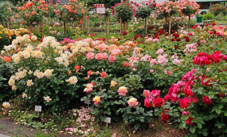 Когда сажать розы осенью