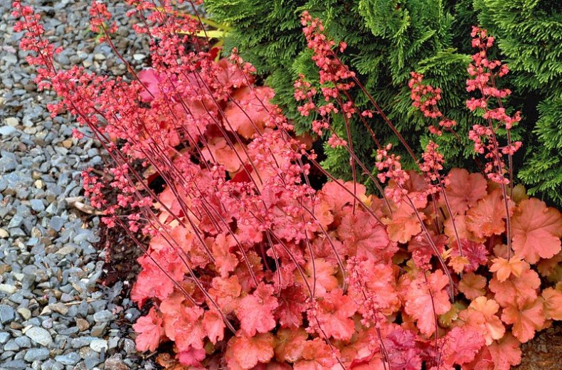 Гейхера популярные сорта растения по цвету листьев (с фото)