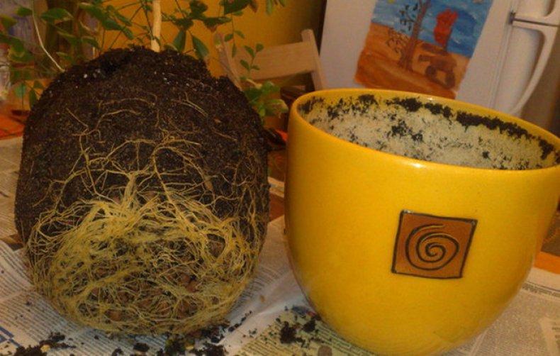 мурайя, домашний, успешный, выращивание, мурайю дома, 4-ре месяца