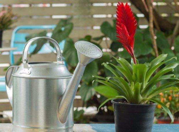 Bromelia догляд в домашніх умовах