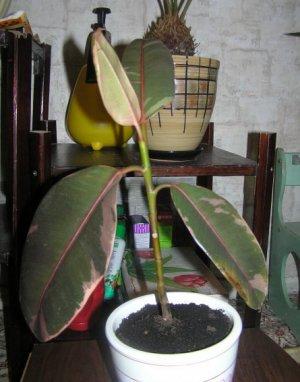 Болезни и вредители каучуконосного фикуса, основные проблемы выращивания растения