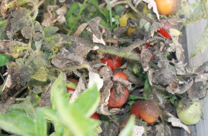 Томат пораженный белокрылками