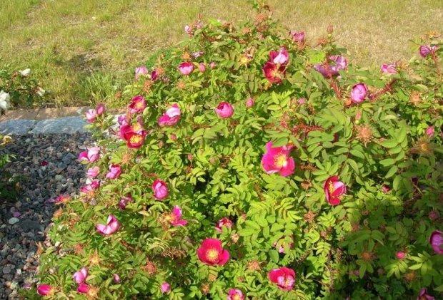 Выращивание шиповника на розы 666