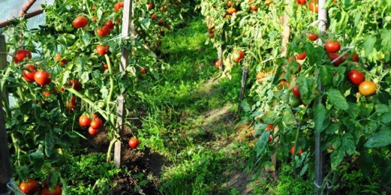 томат «Сибирский скороспелый»