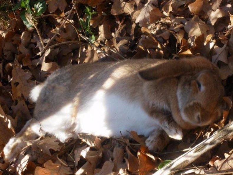 Кокцидиоз у кролика