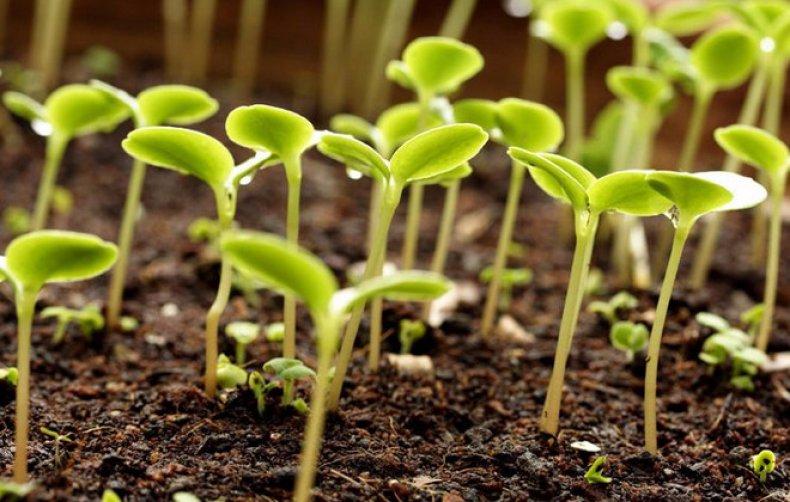 Проростить семена свеклы перед посадкой