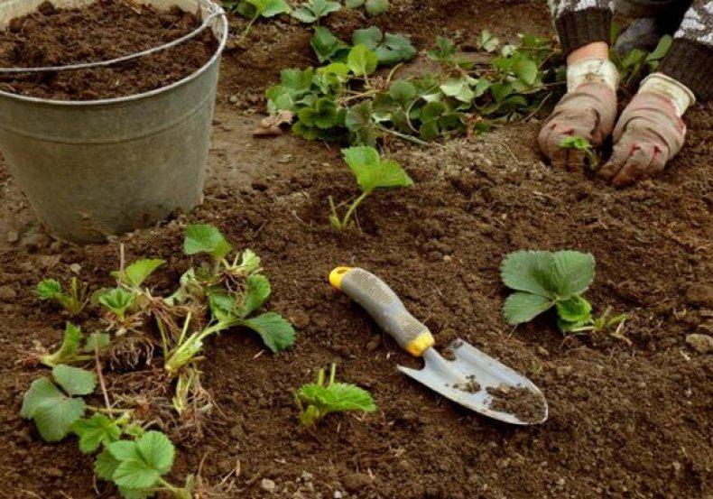 когда рассаживать клубнику весной