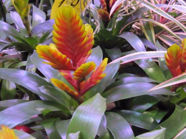 Вриезия уход и выращивание в домашних условиях