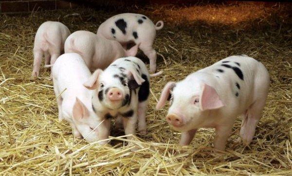 Выращивание свиней на глубокой несменяемой подстилке