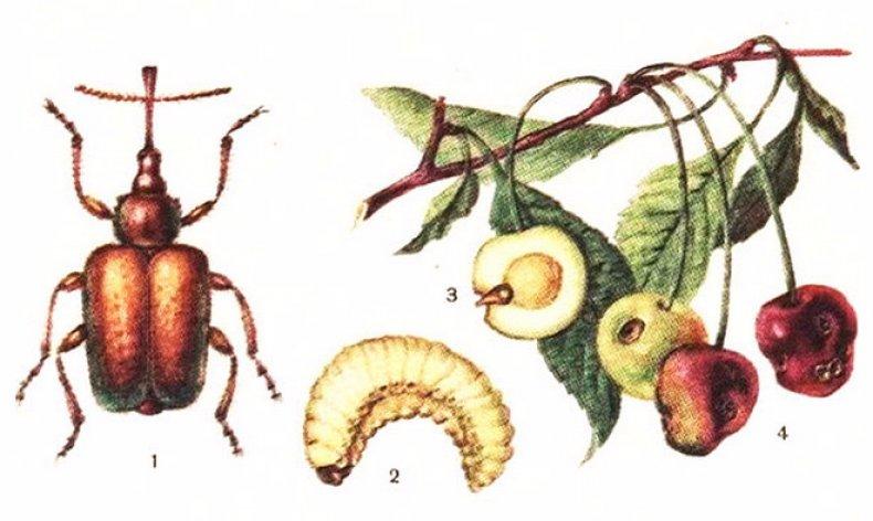 Основные враги вишни