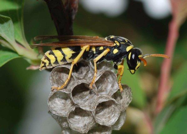 Как избавиться от ос на даче – проверенные способы борьбы с насекомыми