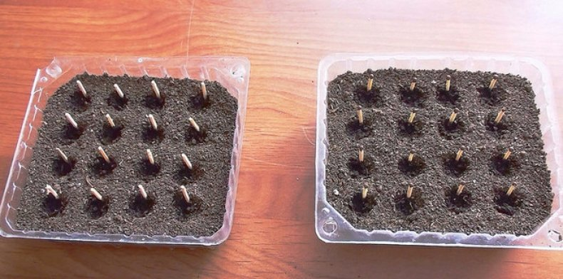 горький перец выращивание,