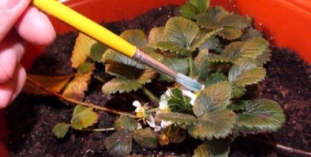 Как опылять клубнику в домашних условиях