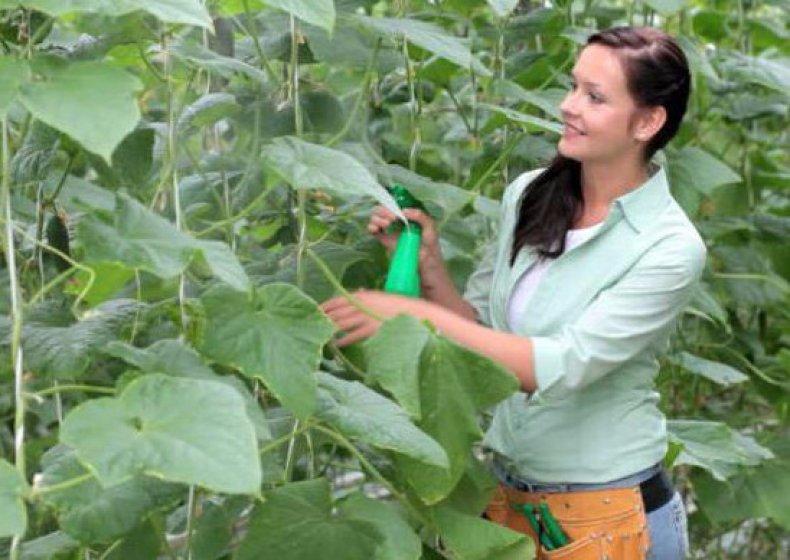 Опрыскивание огурцов пестицидами