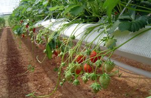 гидропоника, выращивание, клубника, комнатный, вырастить клубнику, выращивания растений