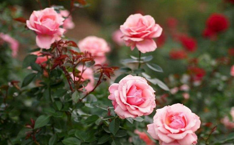 Букет из 29 кремовых кустовых роз 🌸 – купить недорого с доставкой ... | 489x790