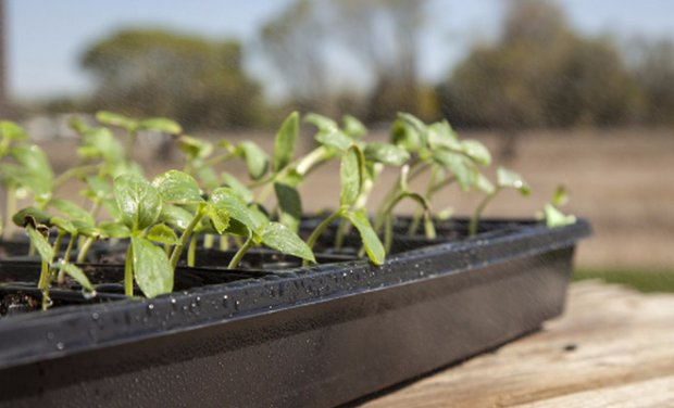 """Как вырастить томаты """"верлиока"""": советы агрономов."""