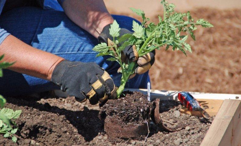 Высадка рассады томатов «Верлиока» в открытый грунт