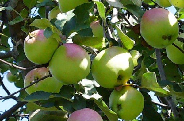 Яблоня башкирский изумруд описание фото