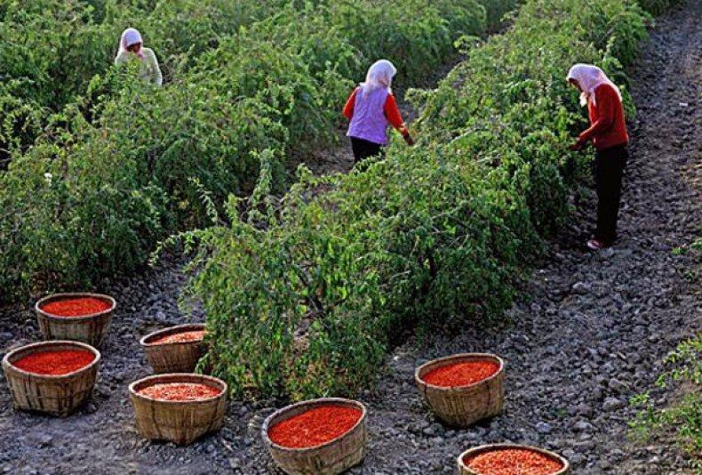ягоды годжи агротехника выращивания