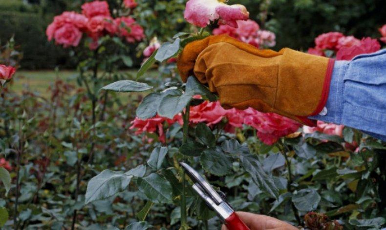 когда готовить розы к зиме
