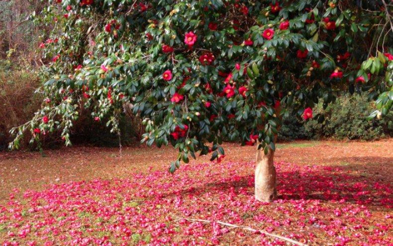 Камелия сортовая древовидная посадка и уход в открытом грунте