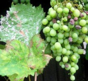 оидиумом на винограде