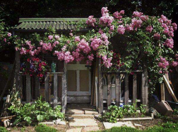 Плетистые розы фото уход