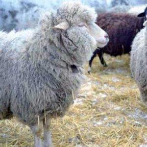 Оспа у овц и коз