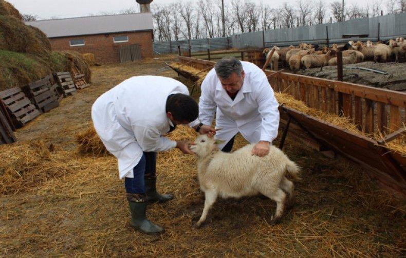 оспа у коз симптомы и лечение