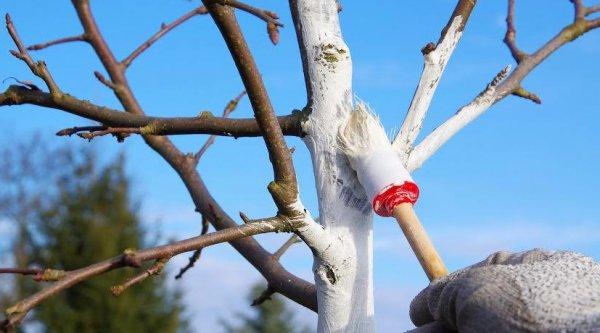Проводим побелку яблонь весной