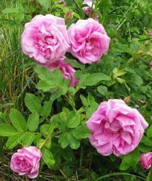 Роза ругоза фото описание