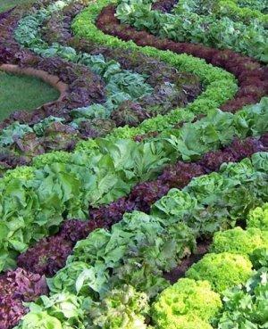 Салат лучшие сорта для посадки в