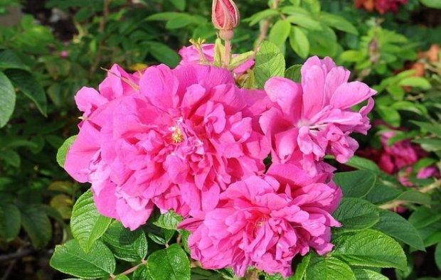 Роза ругоза фото